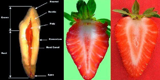 frutilla-fresa-diente