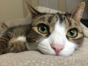 Los gatos son nuestros protectores en el mundo energético
